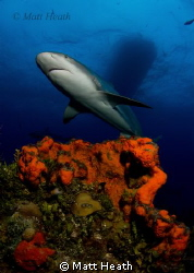 Caribbean Reef Shark by Matt Heath 